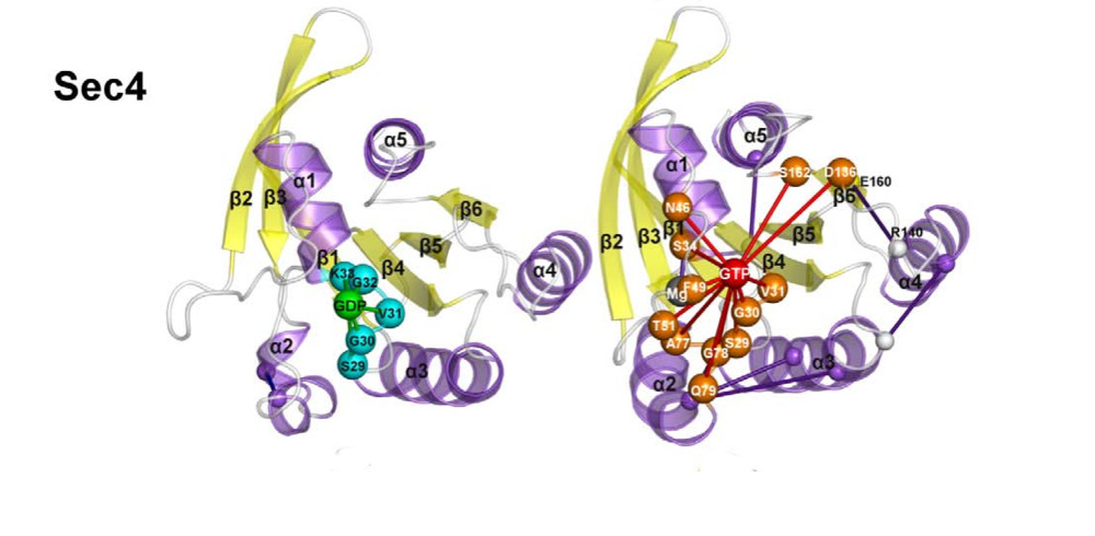 Nucleotide Binding Switches the Information Flow in Ras GTPases